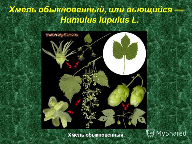 Хмель обыкновенный, или вьющийся Humulus lupulus L. Хмель обыкновенный.