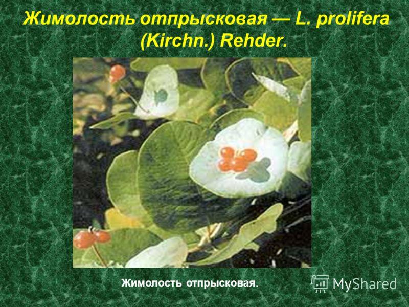 Жимолость отпрысковая L. prolifera (Kirchn.) Rehder. Жимолость отпрысковая..
