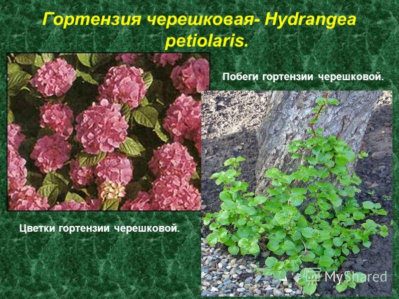 Гортензия черешковая- Hydrangea petiolaris. Цветки гортензии черешковой. Побеги гортензии черешковой.