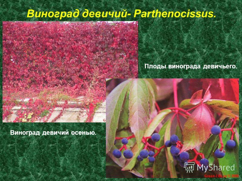 Виноград девичий- Parthenocissus. Виноград девичий осенью. Плоды винограда девичьего.