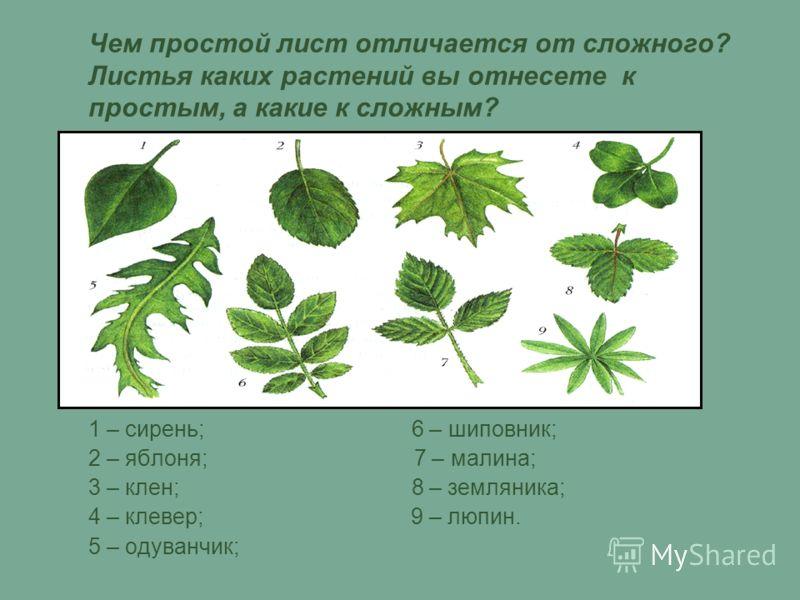 Чем простой лист отличается от сложного? Листья каких растений вы отнесете к простым, а какие к сложным? 1 – сирень; 6 – шиповник; 2 – яблоня; 7 – малина; 3 – клен; 8 – земляника; 4 – клевер; 9 – люпин. 5 – одуванчик;