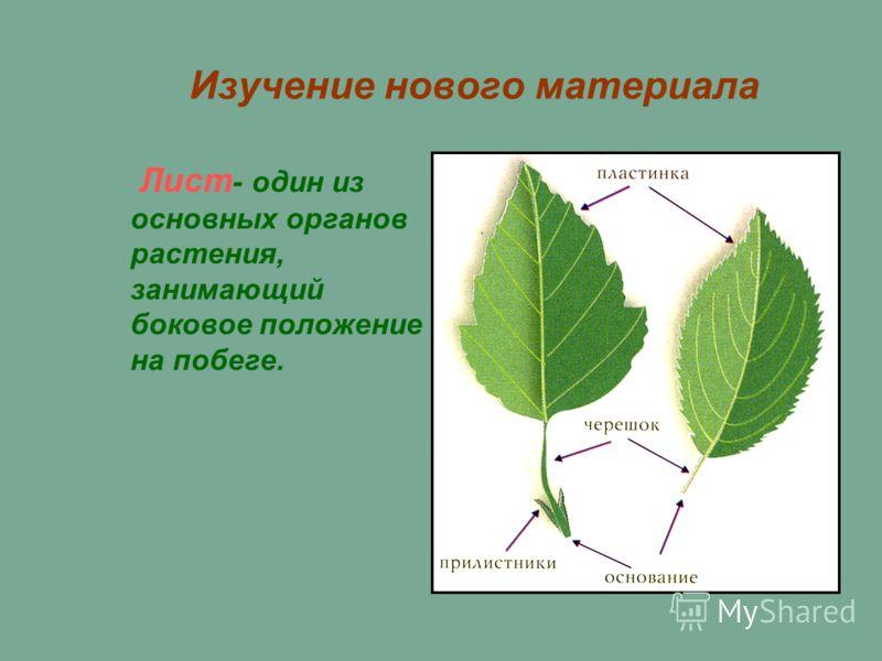 Изучение нового материала Лист - один из основных органов растения, занимающий боковое положение на побеге.