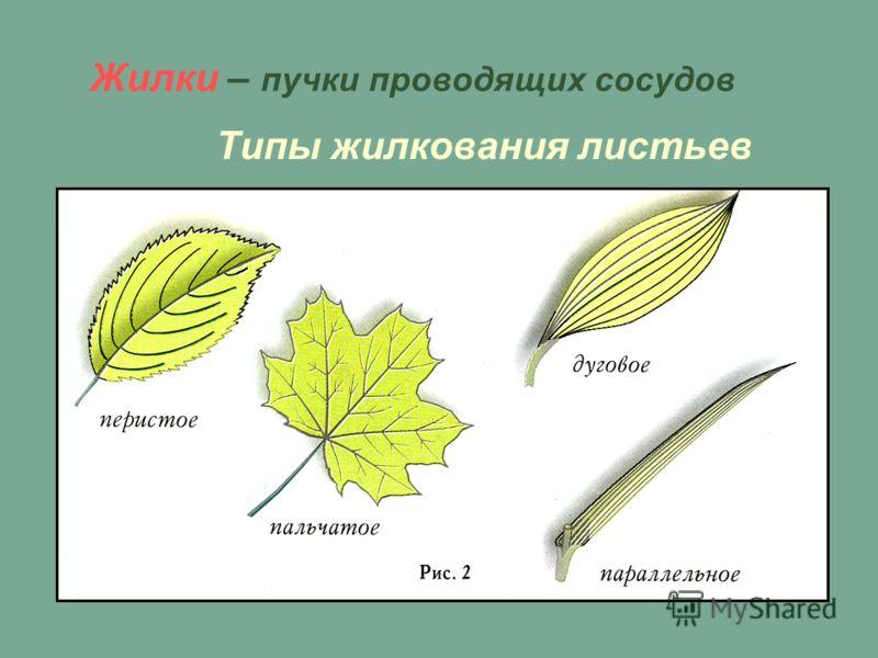 Жилки – пучки проводящих сосудов Типы жилкования листьев