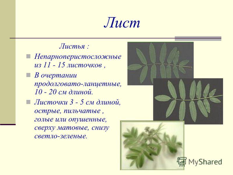 Лист Листья : Непарноперистосложные из 11 - 15 листочков, В очертании продолговато-ланцетные, 10 - 20 см длиной. Листочки 3 - 5 см длиной, острые, пильчатые, голые или опушенные, сверху матовые, снизу светло-зеленые.