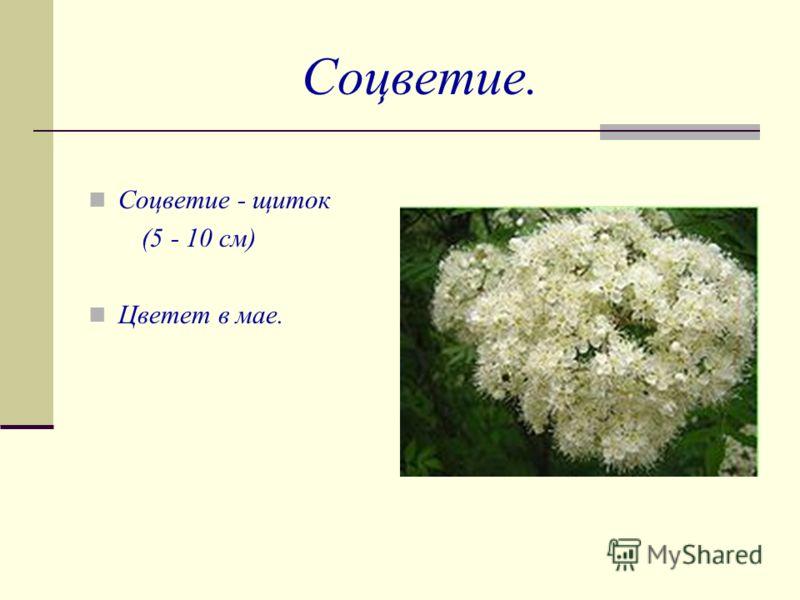 Соцветие. Соцветие - щиток (5 - 10 см) Цветет в мае.