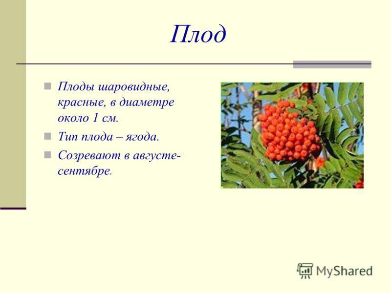 Плод Плоды шаровидные, красные, в диаметре около 1 см. Тип плода – ягода. Созревают в августе- сентябре.