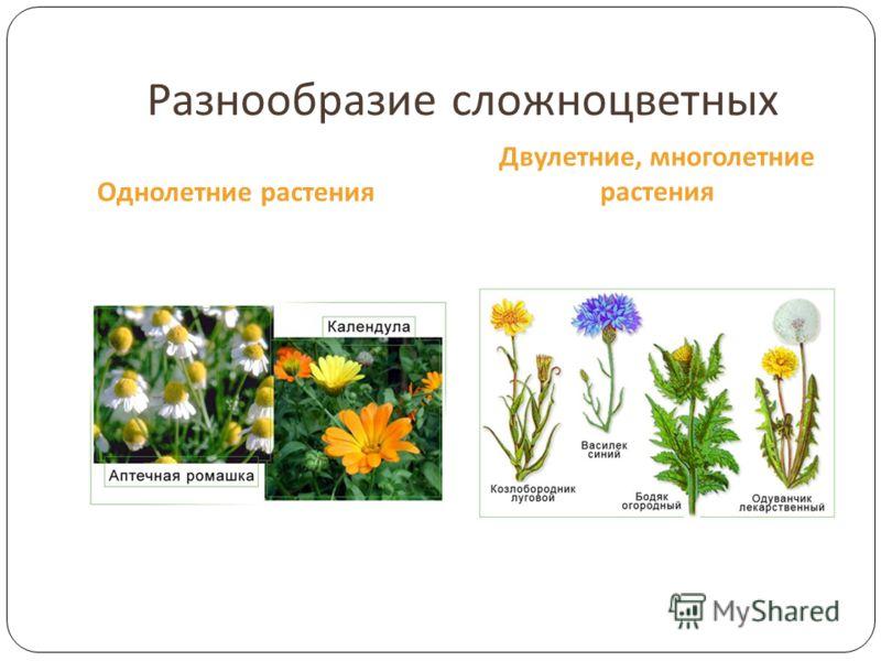Разнообразие сложноцветных Однолетние растения Двулетние, многолетние растения