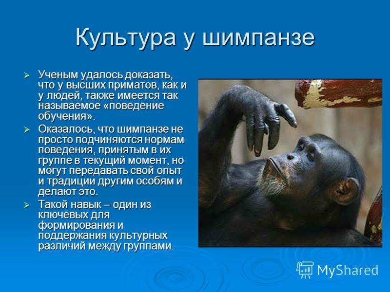Культура у шимпанзе Ученым удалось доказать, что у высших приматов, как и у людей, также имеется так называемое «поведение обучения». Ученым удалось доказать, что у высших приматов, как и у людей, также имеется так называемое «поведение обучения». Ок