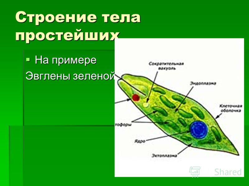 Строение тела простейших На примере На примере Эвглены зеленой