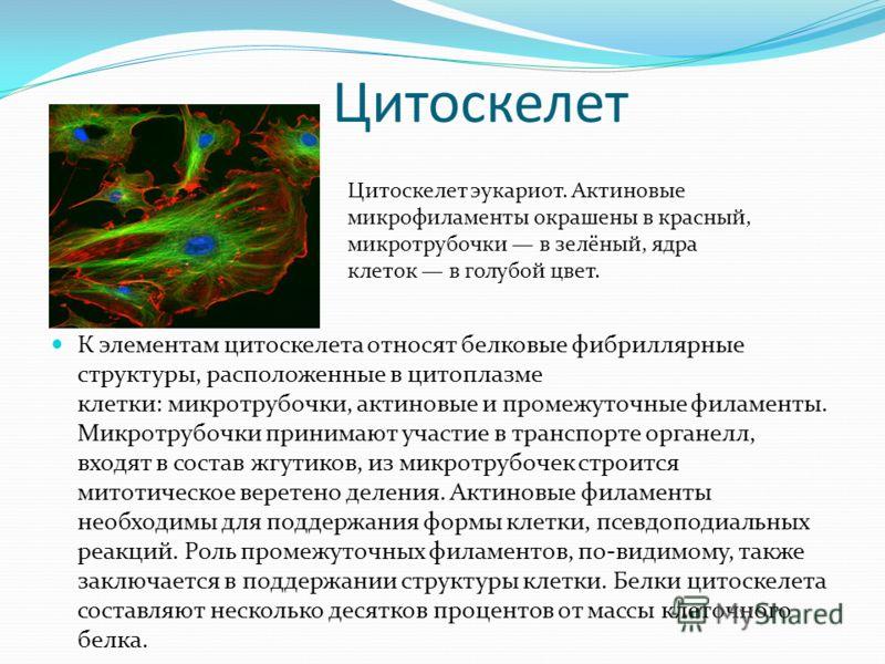Цитоскелет К элементам цитоскелета относят белковые фибриллярные структуры, расположенные в цитоплазме клетки: микротрубочки, актиновые и промежуточные филаменты. Микротрубочки принимают участие в транспорте органелл, входят в состав жгутиков, из мик