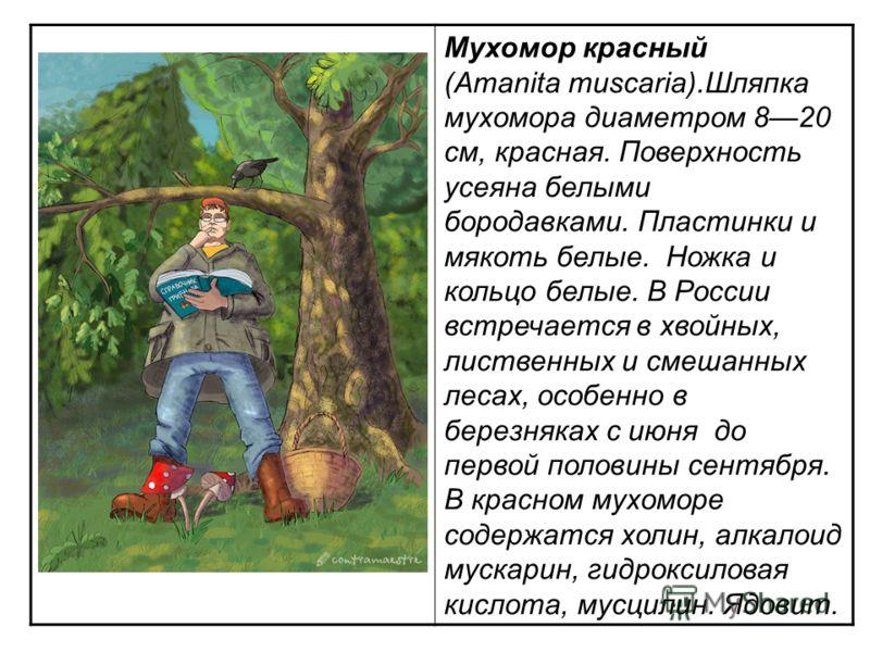 Мухомор красный (Amanita muscaria).Шляпка мухомора диаметром 820 см, красная. Поверхность усеяна белыми бородавками. Пластинки и мякоть белые. Ножка и кольцо белые. В России встречается в хвойных, лиственных и смешанных лесах, особенно в березняках с