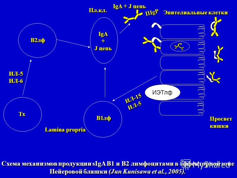 Схема механизмов продукции sIgA В1 и В2 лимфоцитами в эффекторной зоне Пейеровой бляшки (Jun Kunisawa et al., 2005). ИЭТлф В2лф В1лф Тх IgA + J цепь IgA + J цепь Просвет кишки Просвет кишки ИЛ-15 ИЛ-5 ИЛ-15 ИЛ-5 ИЛ-6 ИЛ-5 ИЛ-6 Эпителиальные клетки ПI