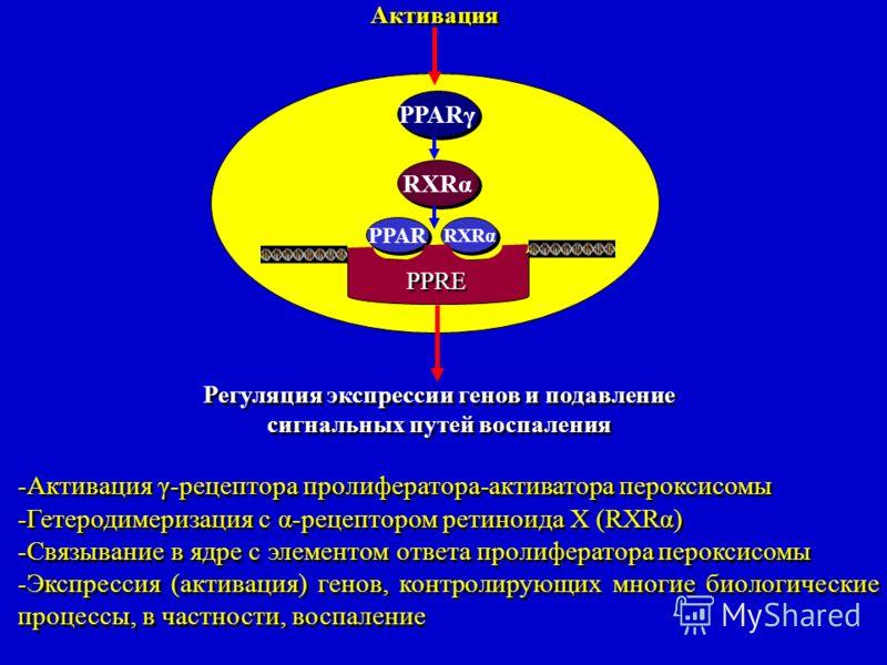 Активация PPARγ RXRα PPAR RXRα PPRE Регуляция экспрессии генов и подавление сигнальных путей воспаления Регуляция экспрессии генов и подавление сигнальных путей воспаления -Активация γ-рецептора пролифератора-активатора пероксисомы -Гетеродимеризация
