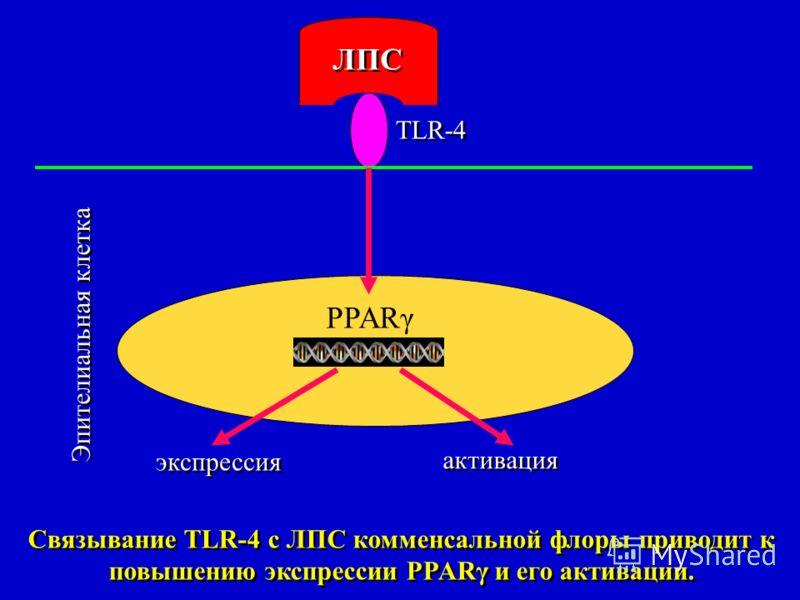 PPARγ ЛПС Эпителиальная клетка TLR-4 экспрессия активация Связывание TLR-4 с ЛПС комменсальной флоры приводит к повышению экспрессии PPARγ и его активации.