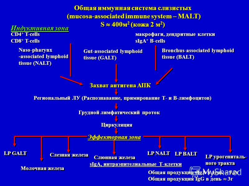 Индуктивная зона CD4 + T-cellsмакрофаги, дендритные клетки CD8 + T-cellssIgA + B-cells CD4 + T-cellsмакрофаги, дендритные клетки CD8 + T-cellssIgA + B-cells Общая иммунная система слизистых (mucosa-associated immune system – MALT) S 400м 2 (кожа 2 м