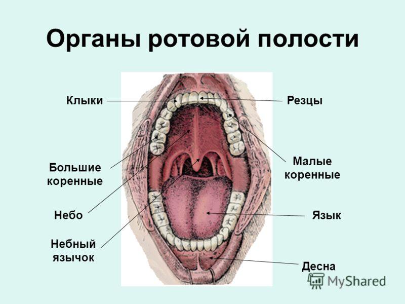Органы ротовой полости РезцыКлыки Малые коренные Большие коренные Десна ЯзыкНебо Небный язычок