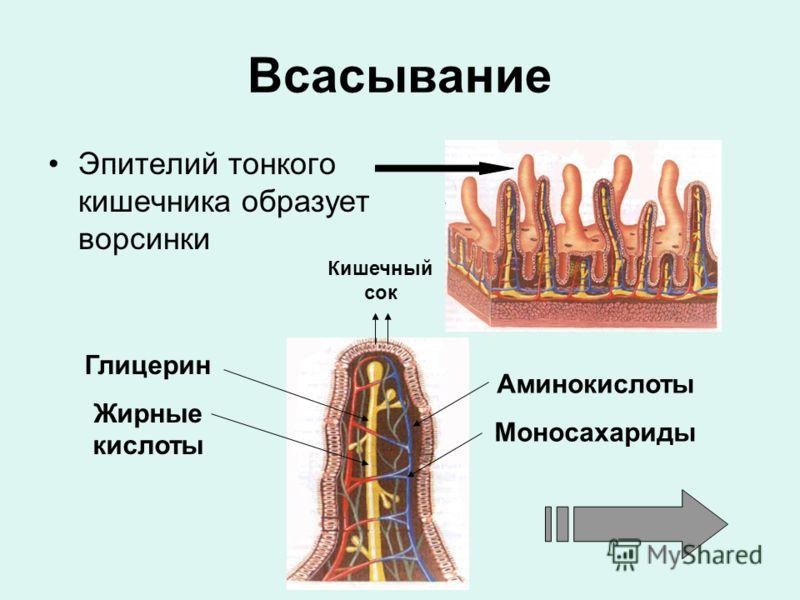 Всасывание Эпителий тонкого кишечника образует ворсинки Аминокислоты Моносахариды Глицерин Жирные кислоты Кишечный сок