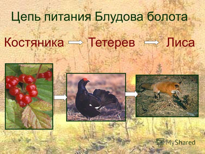 Костяника Тетерев Лиса Цепь питания Блудова болота
