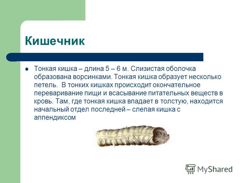 Кишечник Тонкая кишка – длина 5 – 6 м. Слизистая оболочка образована ворсинками. Тонкая кишка образует несколько петель. В тонких кишках происходит окончательное переваривание пищи и всасывание питательных веществ в кровь. Там, где тонкая кишка впада