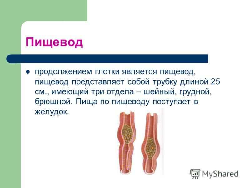 Пищевод продолжением глотки является пищевод, пищевод представляет собой трубку длиной 25 см., имеющий три отдела – шейный, грудной, брюшной. Пища по пищеводу поступает в желудок.