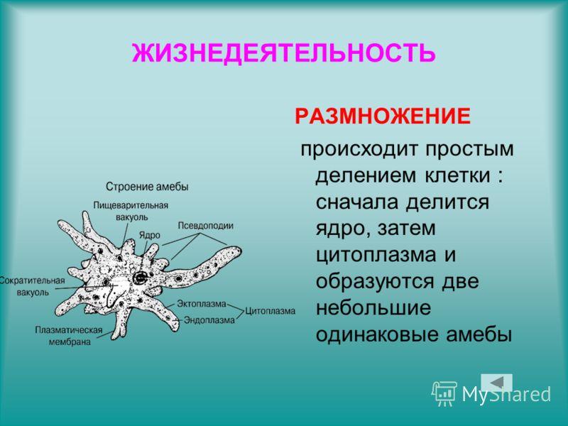 ЖИЗНЕДЕЯТЕЛЬНОСТЬ РАЗМНОЖЕНИЕ происходит простым делением клетки : сначала делится ядро, затем цитоплазма и образуются две небольшие одинаковые амебы
