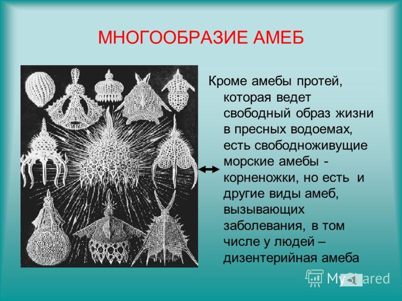 МНОГООБРАЗИЕ АМЕБ Кроме амебы протей, которая ведет свободный образ жизни в пресных водоемах, есть свободноживущие морские амебы - корненожки, но есть и другие виды амеб, вызывающих заболевания, в том числе у людей – дизентерийная амеба