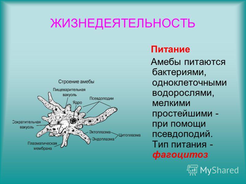 ЖИЗНЕДЕЯТЕЛЬНОСТЬ Питание Амебы питаются бактериями, одноклеточными водорослями, мелкими простейшими - при помощи псевдоподий. Тип питания - фагоцитоз
