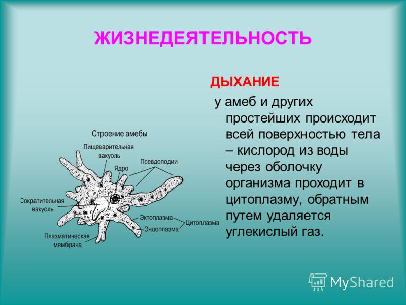 ЖИЗНЕДЕЯТЕЛЬНОСТЬ ДЫХАНИЕ у амеб и других простейших происходит всей поверхностью тела – кислород из воды через оболочку организма проходит в цитоплазму, обратным путем удаляется углекислый газ.