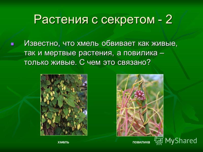 Известно, что хмель обвивает как живые, так и мертвые растения, а повилика – только живые. С чем это связано? Известно, что хмель обвивает как живые, так и мертвые растения, а повилика – только живые. С чем это связано? Растения с секретом - 2 Растен