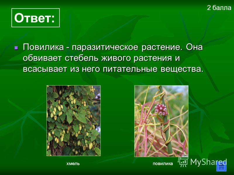 Повилика - паразитическое растение. Она обвивает стебель живого растения и всасывает из него питательные вещества. Повилика - паразитическое растение. Она обвивает стебель живого растения и всасывает из него питательные вещества. Ответ: хмельповилика