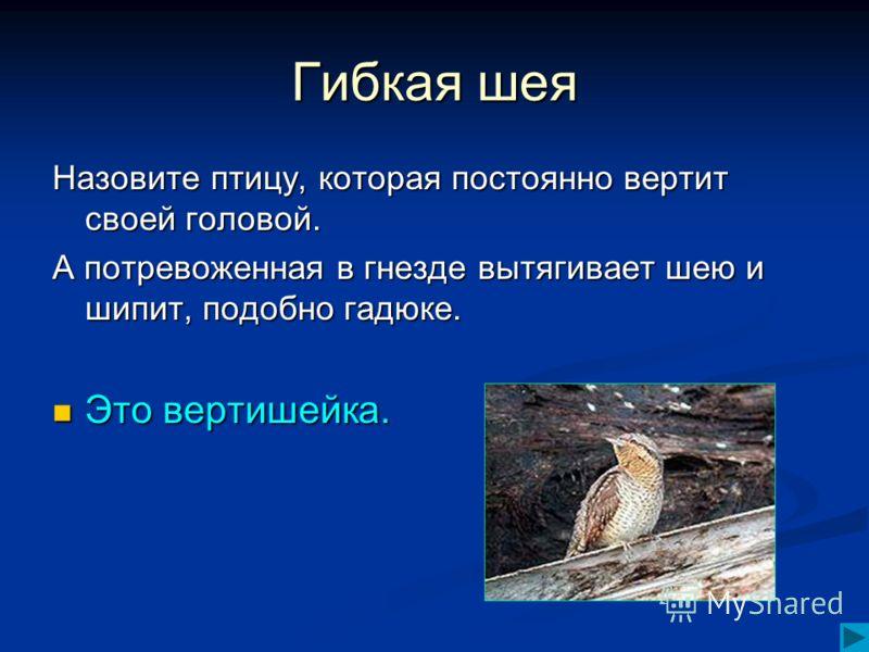 Гибкая шея Назовите птицу, которая постоянно вертит своей головой. А потревоженная в гнезде вытягивает шею и шипит, подобно гадюке. Это вертишейка. Это вертишейка.