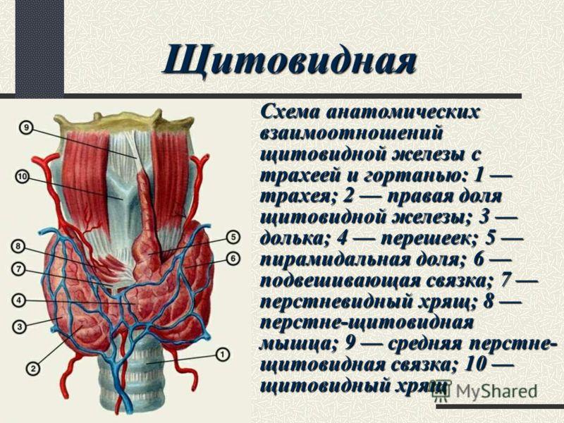 Схема анатомических взаимоотношений щитовидной железы с трахеей и гортанью: 1 трахея; 2 правая доля щитовидной железы; 3 долька; 4 перешеек; 5 пирамидальная доля; 6 подвешивающая связка; 7 перстневидный хрящ; 8 перстне-щитовидная мышца; 9 средняя пер