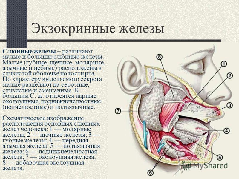 Железы Щечные