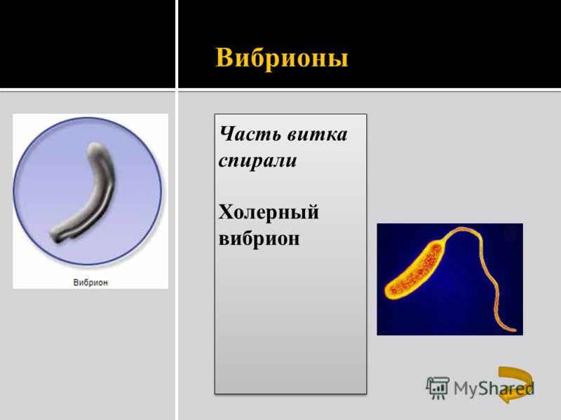 Вибрионы Часть витка спирали Холерный вибрион Часть витка спирали Холерный вибрион