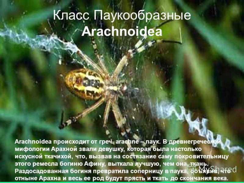 Класс Паукообразные Arachnoidea Arachnoidea происходит от греч. arachne – паук. В древнегреческой мифологии Арахной звали девушку, которая была настолько искусной ткачихой, что, вызвав на состязание саму покровительницу этого ремесла богиню Афину, вы
