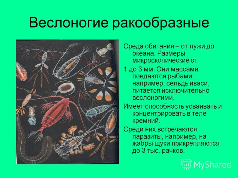 Веслоногие ракообразные Среда обитания – от лужи до океана. Размеры микроскопические от 1 до 3 мм. Они массами поедаются рыбами, например, сельдь иваси, питается исключительно веслоногими. Имеет способность усваивать и концентрировать в теле кремний.