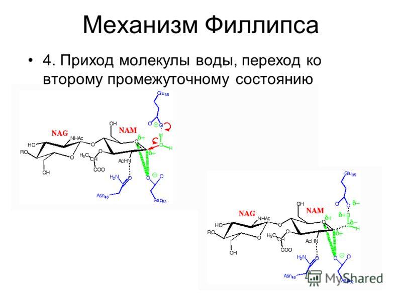 Механизм Филлипса 4. Приход молекулы воды, переход ко второму промежуточному состоянию