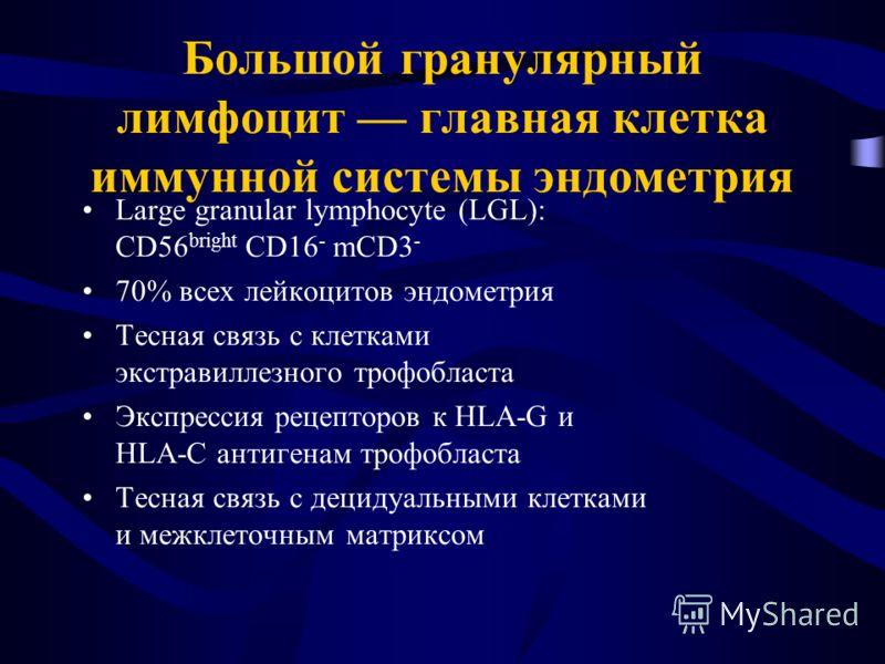 Большой гранулярный лимфоцит главная клетка иммунной системы эндометрия Large granular lymphocyte (LGL): CD56 bright CD16 - mCD3 - 70% всех лейкоцитов эндометрия Тесная связь с клетками экстравиллезного трофобласта Экспрессия рецепторов к HLA-G и HLA