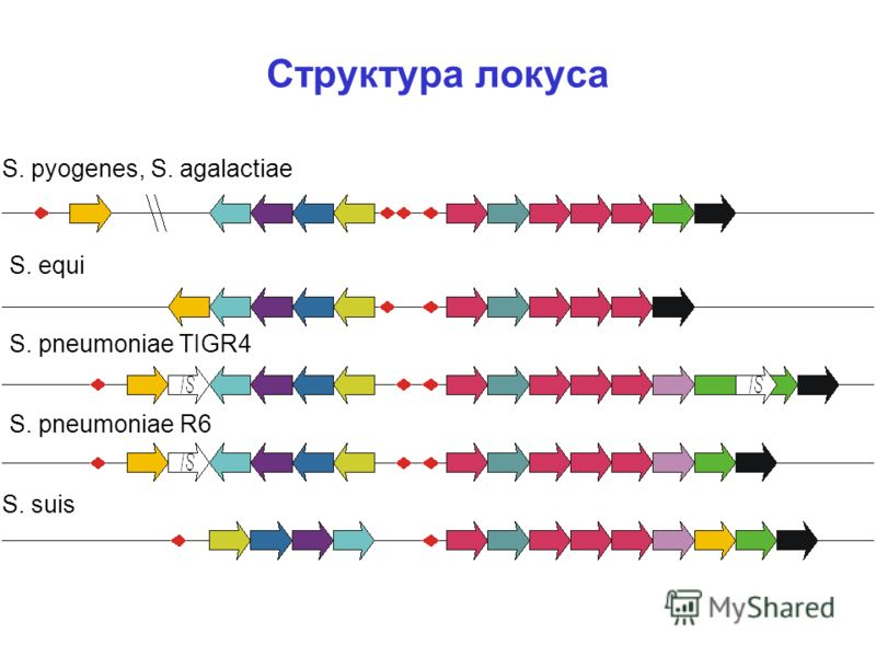 Структура локуса S. pyogenes, S. agalactiae S. equi S. pneumoniae TIGR4 S. suis S. pneumoniae R6