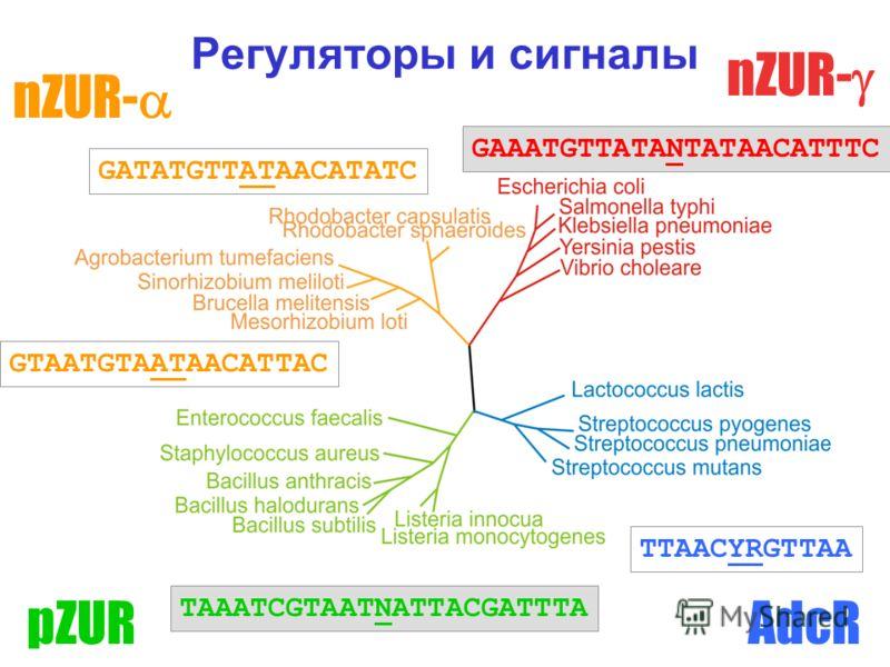 Регуляторы и сигналы nZUR- AdcRpZUR TTAACYRGTTAA GATATGTTATAACATATC GAAATGTTATANTATAACATTTC GTAATGTAATAACATTAC TAAATCGTAATNATTACGATTTA