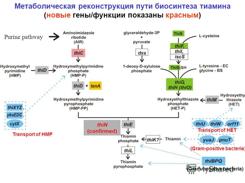 Метаболическая реконструкция пути биосинтеза тиамина (новые гены/функции показаны красным) thiN (confirmed) (Gram-positive bacteria) (Gram-negative bacteria) Transport of HMP Transport of HET Purine pathway