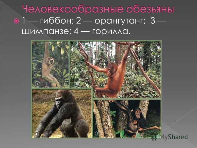 1 гиббон; 2 орангутанг; 3 шимпанзе; 4 горилла.