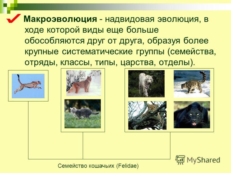 Макроэволюция - надвидовая эволюция, в ходе которой виды еще больше обособляются друг от друга, образуя более крупные систематические группы (семейства, отряды, классы, типы, царства, отделы). Семейство кошачьих (Felidae)