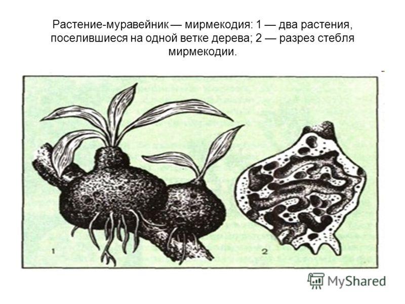 Растение-муравейник мирмекодия: 1 два растения, поселившиеся на одной ветке дерева; 2 разрез стебля мирмекодии.