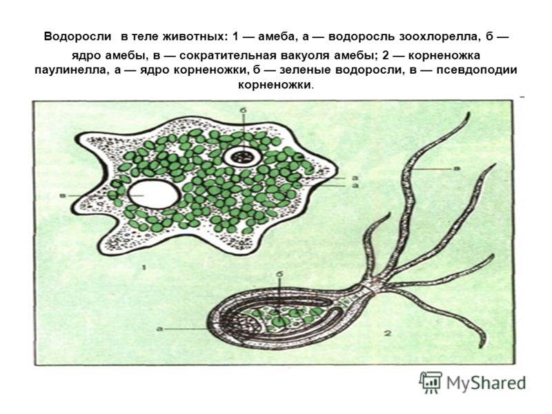 Водоросли в теле животных: 1 амеба, a водоросль зоохлорелла, б ядро амебы, в сократительная вакуоля амебы; 2 корненожка паулинелла, a ядро корненожки, б зеленые водоросли, в псевдоподии корненожки.