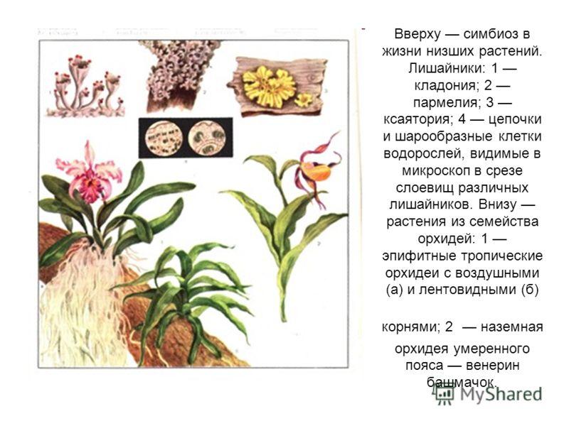 Вверху симбиоз в жизни низших растений. Лишайники: 1 кладония; 2 пармелия; 3 ксаятория; 4 цепочки и шарообразные клетки водорослей, видимые в микроскоп в срезе слоевищ различных лишайников. Внизу растения из семейства орхидей: 1 эпифитные тропические