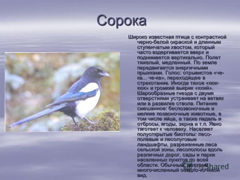 Сорока Сорока Широко известная птица с контрастной черно-белой окраской и длинным ступенчатым хвостом, который часто вздергивается вверх и поднимается вертикально. Полет тяжелый, медленный. По земле передвигается энергичными прыжками. Голос: отрыви