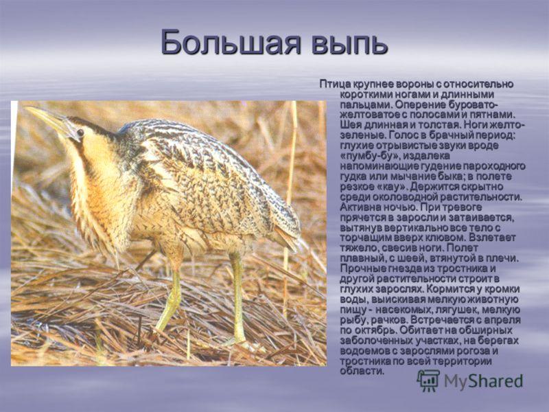 Большая выпь Птица крупнее вороны с относительно короткими ногами и длинными пальцами. Оперение буровато- желтоватое с полосами и пятнами. Шея длинная и толстая. Ноги желто- зеленые. Голос в брачный период: глухие отрывистые звуки вроде «пумбу-бу»,