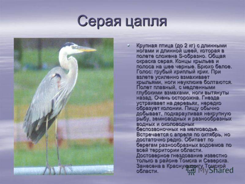 Серая цапля Крупная птица (до 2 кг) с длинными ногами и длинной шеей, которая в полете сложена S-образно. Общая окраска серая. Концы крыльев и полоса на шее черные. Брюхо белое. Голос: грубый хриплый крик. При взлете усиленно взмахивает крыльями, ног