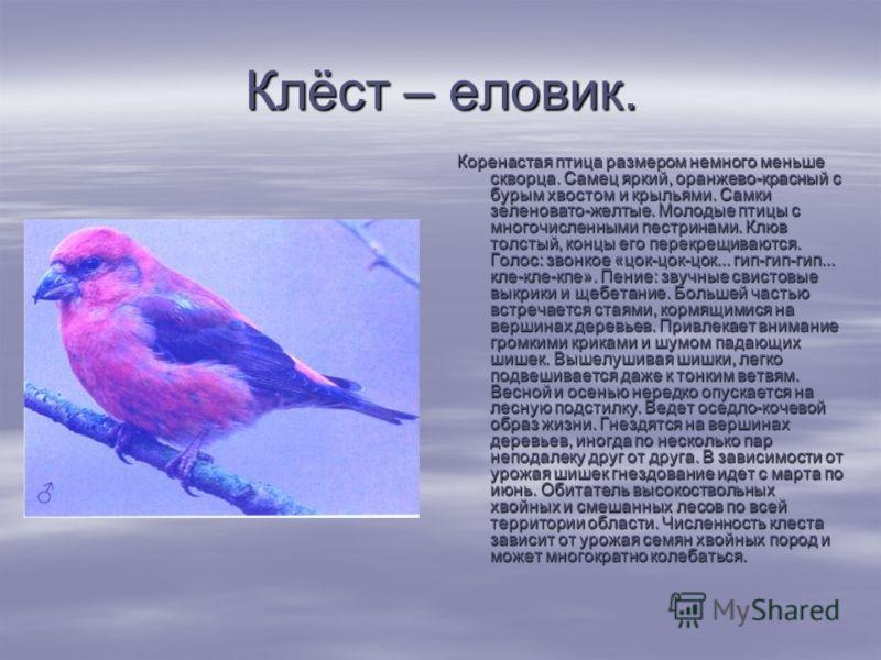 Клёст – еловик. Коренастая птица размером немного меньше скворца. Самец яркий, оранжево-красный с бурым хвостом и крыльями. Самки зеленовато-желтые. Молодые птицы с многочисленными пестринами. Клюв толстый, концы его перекрещиваются. Голос: звонко